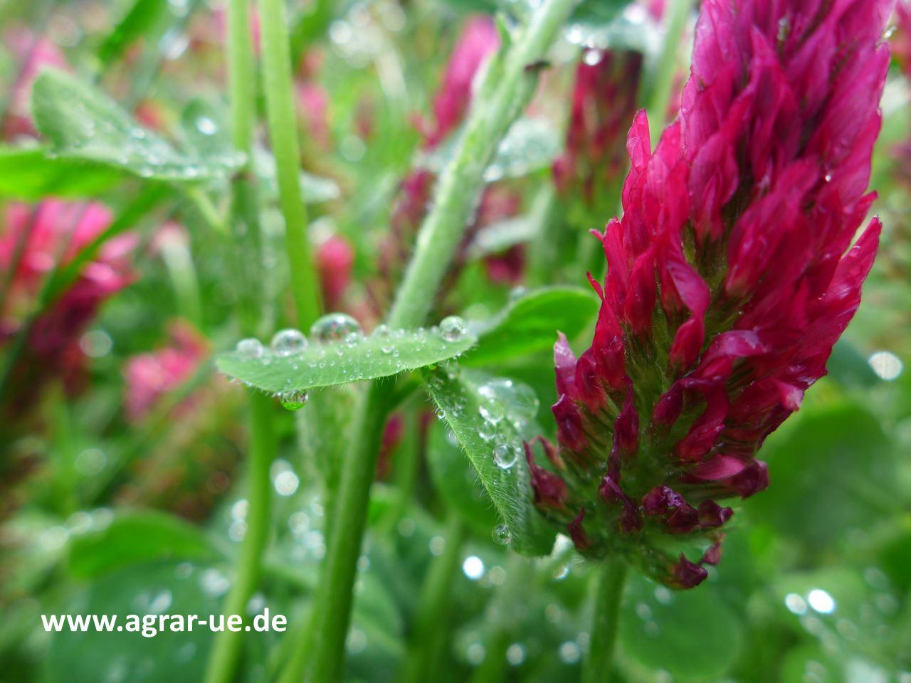 Klee_Regen